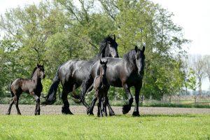 horse, horses, foal