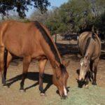 horses grazing hay bank